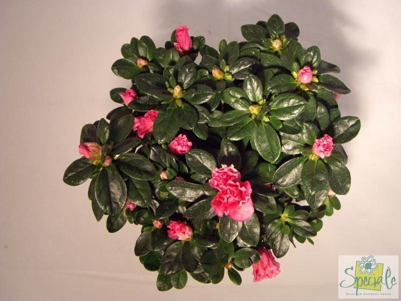 Комнатный цветок ахименес: фото, выращивание и особенности